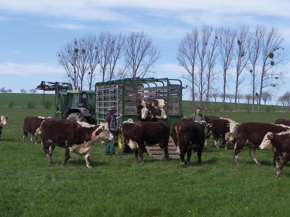 Kühe werden aus dem Hänger geladen.