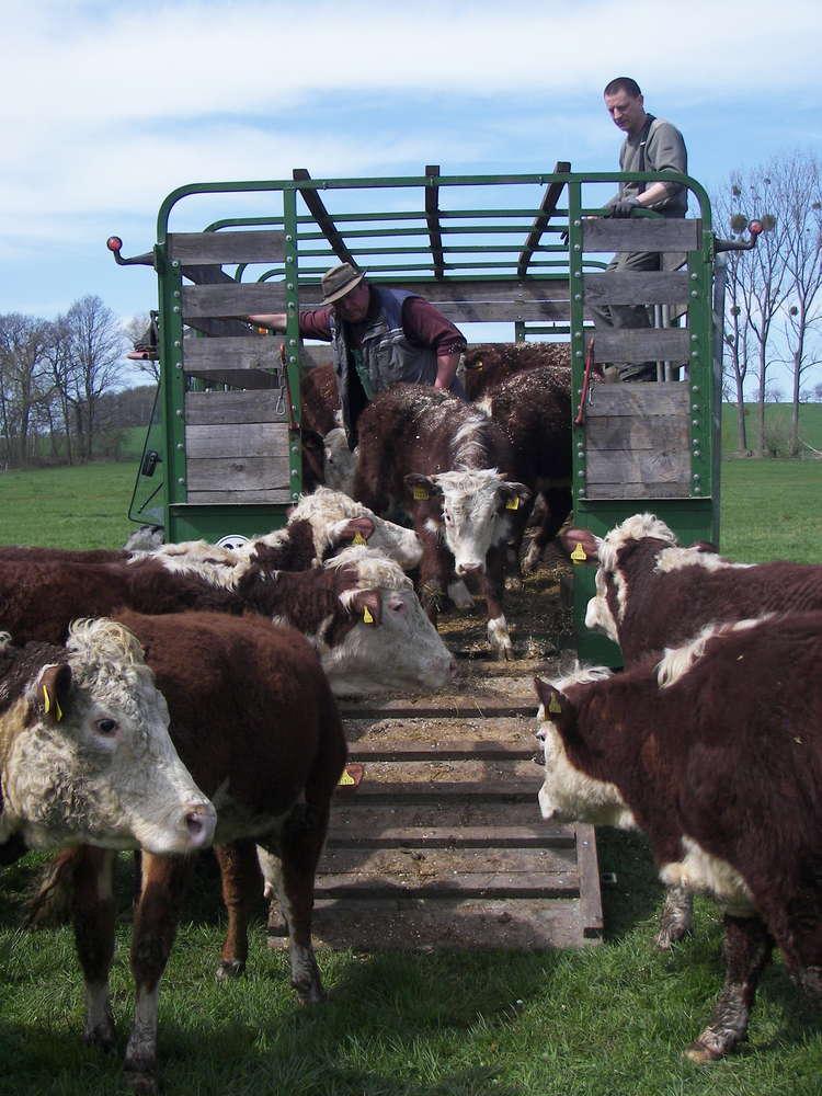 Kühe werden vom Hänger geladen.