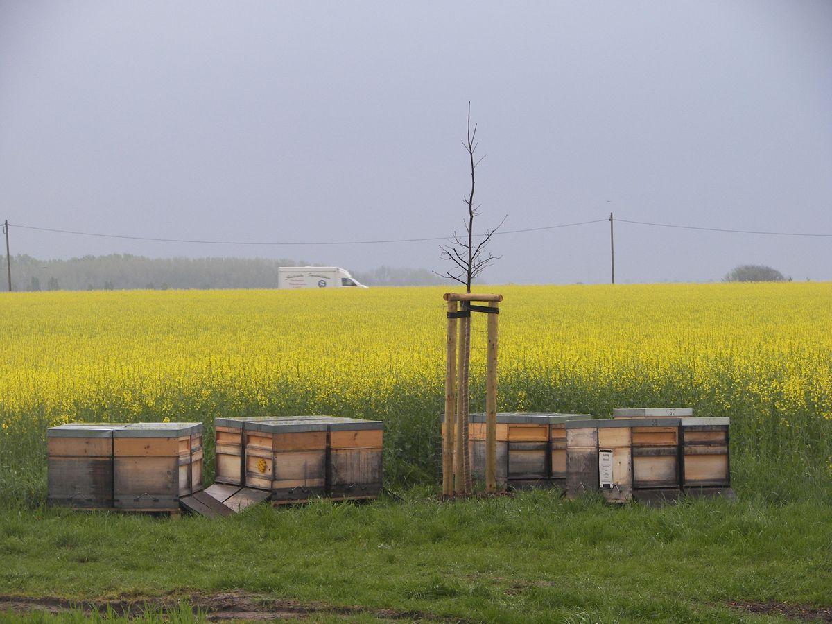 Bienenstöcke am Rapsfeld