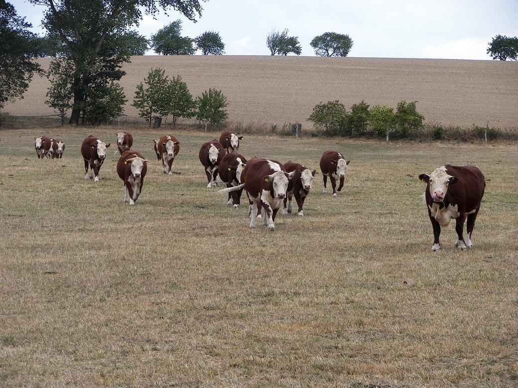 Kühe auf vertrockneter Weide