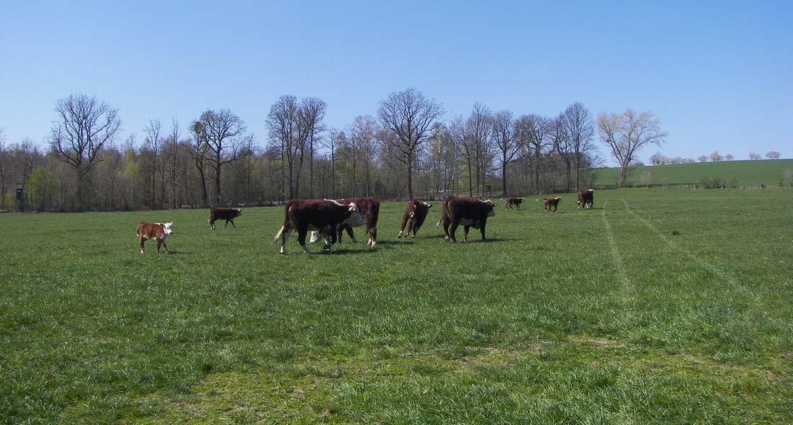 Vieh auf frischer Weide