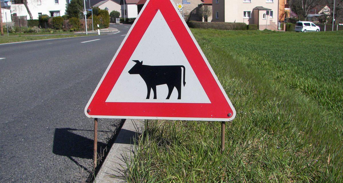 "Verkehrsschild ""Vorsicht Kühe"""